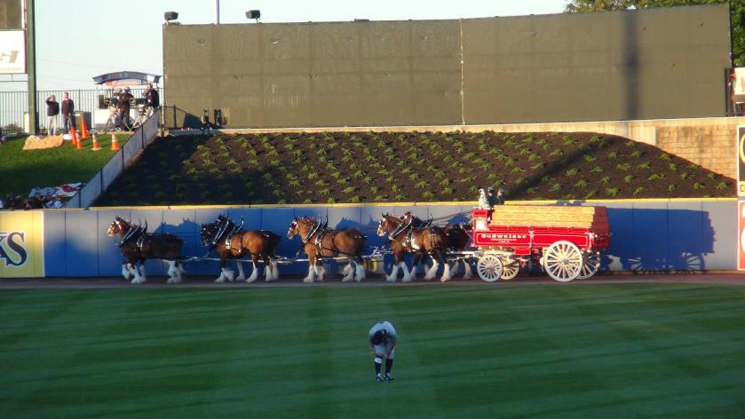 The Budweiser Clydesdales were part of the pre-game festivities (Photo credit: Vinny Haynes)